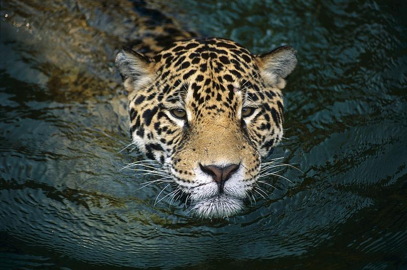 Jaguar by Jose Maria Diaz-Formenti 800 pixels