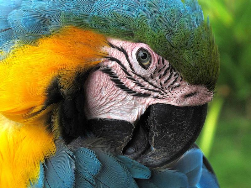 Macaw Howard Weir 600 px
