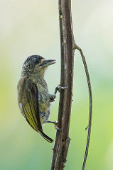 Golden-fronted Piculet