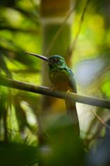 Bluish-fronted Jacamar (Galbula cyanescens)