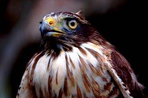 Roadside Hawk (Rupornis magnirostris)