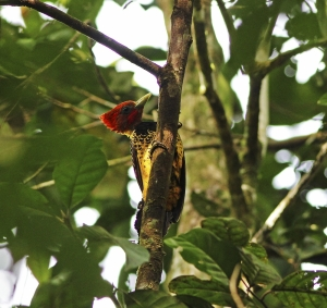 Rufous-headed Woodpecker (Celeus spectabilis)