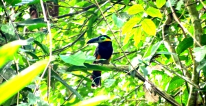 Golden-collared Toucanet (Selenidera reinwardtii)