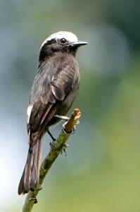 Long-tailed tyrant (Colonia colonus)