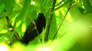 Manu Antbird (Cercomacra manu)
