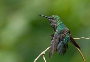 Many-spotted Hummingbird (Taphrospilus hypostictus)