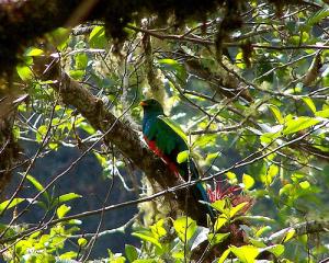 Photo of Quetzal. Photo by Adrian Tejedor at Los Amigos Conservation Hub.