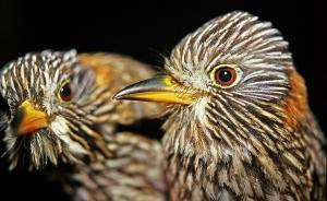 Semicollared Puffbird (Malacoptila semicincta)