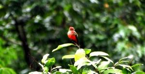 Vermilion Flycatcher (Pyrocephalus rubinus)