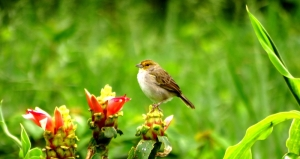 Yellow-browed Sparrow (Ammodramus aurifrons