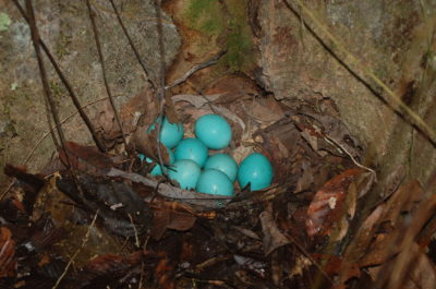 Great Tinamou egg predation caught on camera at our lodge!