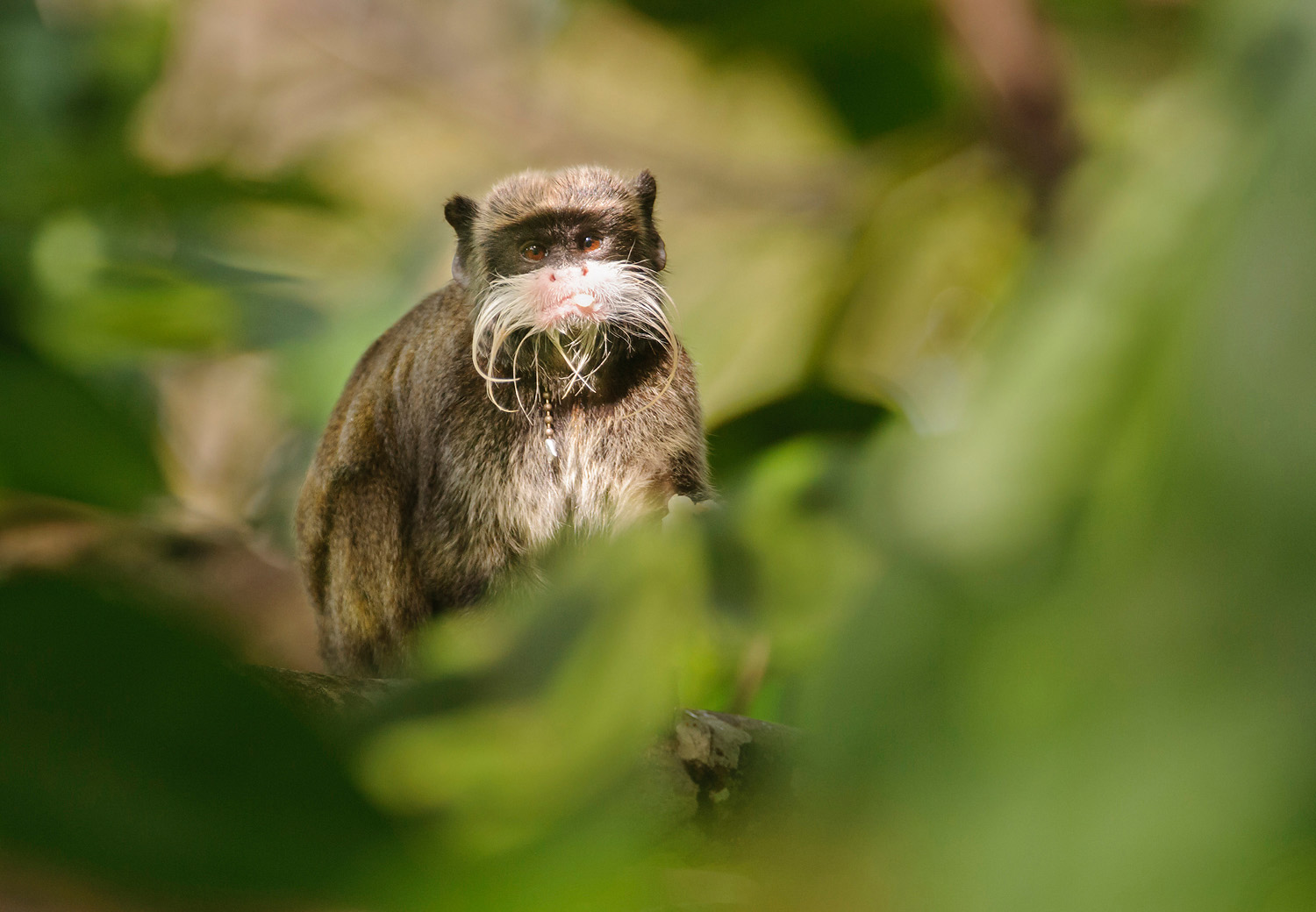 "Living in ""sympatry"" with sympathy: a story of tamarins at Los Amigos!"