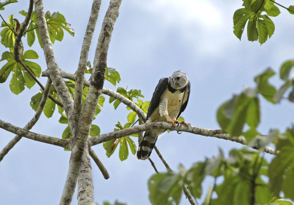 Los Amigos Bird Observatory Blog   Amazon Conservation