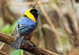 Photo of golden-collared tanager (Iridosornis jelskii) at wayqecha biological station. Photo by Jose Luis Avendaño Medina for Amazon Journeys bird tourism by Amazon Conservation