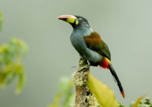 Photo of gray breasted mountain toucan (andigena hypoglauca ) at wayqecha biological station. Photo by Jose Luis Avendaño Medina for Amazon Journeys bird tourism by Amazon Conservation