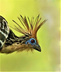 Photo of Hoatzin (Opisthocomus hoazin) Estacion biologica Villa Carmen. Photo by Jose Luis Avendaño Medina for Amazon Journeys bird tourism by Amazon Conservation